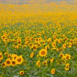 Sunflower Fields 1