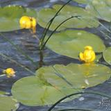 Water Lilies 1 iPad wallpaper